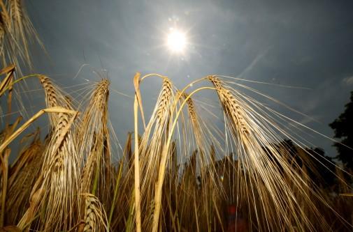 Kornfeld in der Sonne